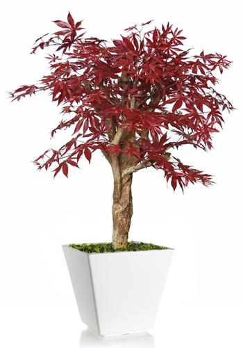Maple Robustina 100 cm Burgundy